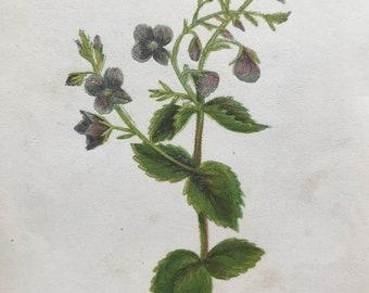 1852 Original Antique Hand-Coloured Anne Pratt Botanical Illustration - Germander Speedwell - Botany - Garden - Available Framed