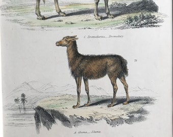 1862 Dromedary, Llama and Java Musk Deer Original Antique Hand Coloured Engraving - Available Mounted, Matted and Framed - Wildlife