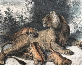 c.1860 Lioness and Cubs Original Antique Hand-Coloured Engraving - Wildlife - Animal Art - Mounted and Matted - Available Framed