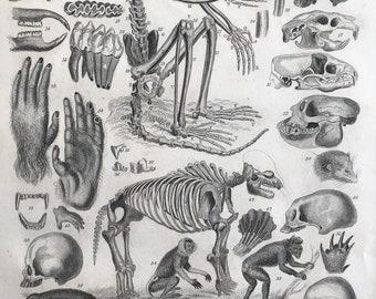 1858 Mammalia Original Antique Engraving - Mammals - Skeleton - Skull - Osteology - Primate - Monkey - Beaver - Available Matted & Framed