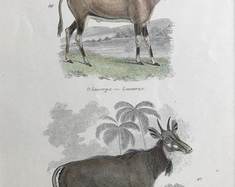 1862 Leucoryx and Nyl Ghau Original Antique Hand Coloured Engraving - Available Mounted, Matted and Framed - Wildlife - Arabian Oryx