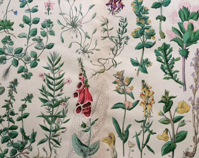 Featured listing image: 1890 Large Original Antique Botanical Lithograph - Botanical Print - Botany - Plants - Botanical Art - Wall Decor - Foxglove - Toadflax
