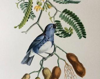 1960 Large Original Vintage Bird Print, 11.5 x 17 inches, Tangara Passe Vert, Vintage Decor, Ornithology, Tropical Colourful Wall Art