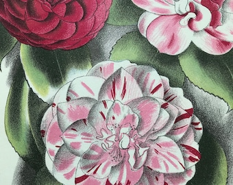 1939 Camellia Original Vintage Print - Mounted and Matted - Botanical Illustration - Flower Art - Retro Decor - Available Framed