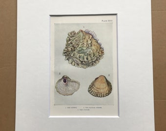 1920 The Oyster, Saddle Oyster and Cockle Original Antique Print - Mounted and Matted - Available Framed - Sea Shell - Ocean Decor