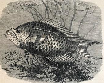 1896 Epibulus Insidiator Original Antique Print - Fish Illustration - Marine Decor - Mounted and Matted - Available Framed