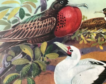 1968 Great Frigate Bird and Red-Footed Booby Original Vintage Print - Mounted and Matted - Available Framed - Ornithology - Bird Art