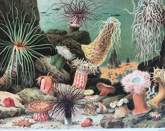 1897 Sea Anemones Original Antique Lithograph - Mounted and Matted - Marine Decor - Ocean Wildlife - Vintage - Available Framed