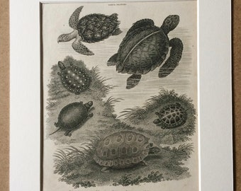 1819 Tortoises and Turtles Species Original Antique Engraving - Available Mounted and Matted - Amphibian - Decorative Art - Framed
