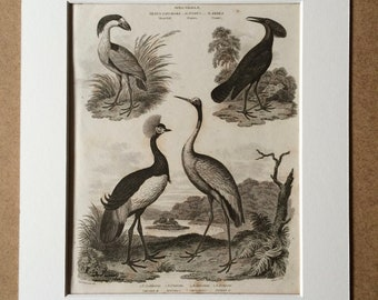1819 Original Antique Engraving - Boatbill, Umbre and Crane - Vintage Bird Art - Ornithology - Available Matted and Framed
