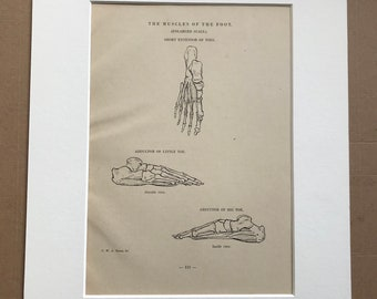 1949 The Muscles of the Foot Original Vintage Print - Anatomy - Medical Decor - Mounted and Matted - Available Framed