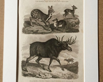 1819 Original Antique Engraving - Elk and Musk Species - Mammal - Wildlife Decor - Natural History - Available Matted and Framed