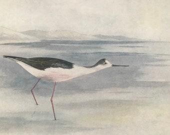 1924 Black-Winged Stilt Original Antique Print - Mounted and Matted - Ornithology - British Waders - Vintage Bird Art - Available Framed