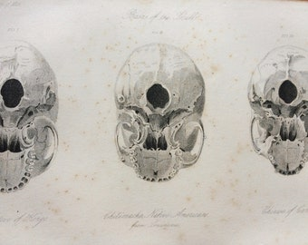 1855 Skull Comparison - Negro Native of Kongo, Chitimacha Native American, Chinese of Canton Original Antique Engraving - Anthropology