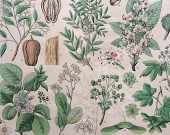 1890 Large Original Antique Botanical Lithograph - Botanical Print - Botany - Plants - Botanical Art - Wall Decor - Chestnut - Mastic