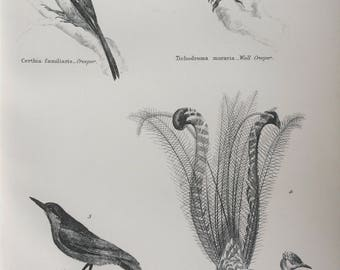 1891 Passeres - Lyre Bird, Nuthatch, Creeper, Wall Creeper Original Antique Steel Engraving - Encyclopaedia Illustration - Ornithology- Bird