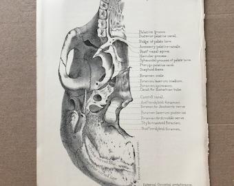 1882 Original Antique Print - Skull - Medical Decor - Anatomy - Osteology - Bone