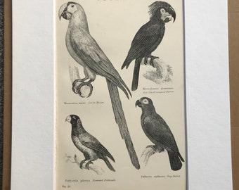1891 Parrot Original Antique Print - Bird Art - Macaw, Psittacule, Grey Parrot - Ornithology - Available Framed