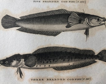 1812 Five Bearded and Three Beaded Cod Fish Original Antique Engraving - Ichthyology - Fish Art - Fishing Cabin Decor - Available Framed