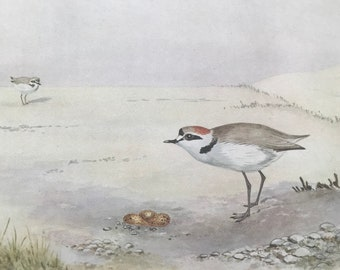 1924 Kentish Plover Original Antique Print - Mounted and Matted - Ornithology - British Waders - Vintage Bird Art - Available Framed