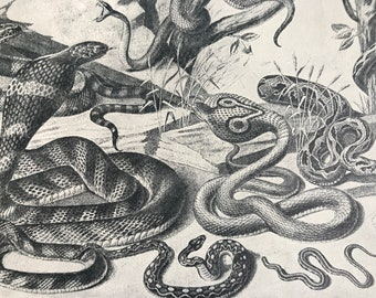 1903 Poisonous Asiatic Snakes Original Antique Print - Banded Adder, Tree Viper, Giant Cobra, Cobra de Capello, Desert Saw-Viper
