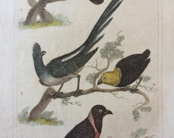 1821 Original Antique Hand-Coloured Engraving -  Goatsucker, White-Backed Coly, Gold-Headed Manakin, Tanagier - Framed Print - Bird of Prey