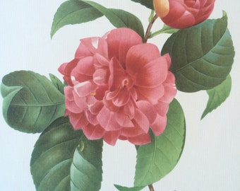 1955 Original Vintage Redoute Flower Illustration - Botanical Decor - Camellia Japonica - Botany - Available Mounted and Matted