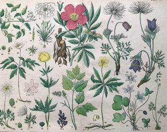 1880 Large Original Antique Botanical Lithograph - Botanical Print - Botany - Plants - Botanical Art - Wall Decor - Clematis - Anemone
