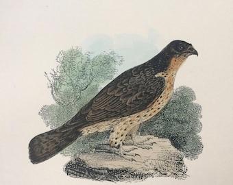 1907 The Honey Buzzard Original Antique Matted Hand-Coloured Engraving - Ornithology - Bird Decor - Wildlife - Decorative Art