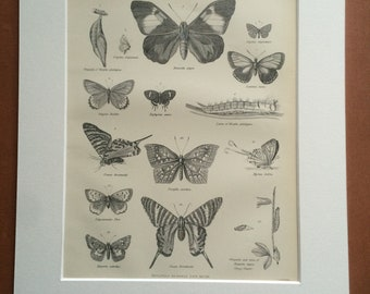 1875 Butterflies and Moths Original Antique Matted Engraving - Lepidoptera - Insect - Butterfly - Entomology - Matted & Available Framed