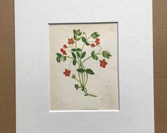 1852 Original Antique Hand-Coloured Anne Pratt Botanical Illustration - Scarlet Pimpernel - Botany - Garden - Available Framed