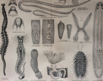 1875 Worms Large Original Antique print - Available Mounted and Matted - Entomology - Victorian Decor