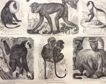 1874 Old World Monkeys Large Original Antique print - Available Mounted and Matted - Guereza, Gibbon, Baboon, Primate - Vintage Wall Decor