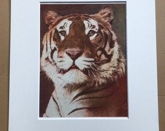 1940s Tiger Original Vintage Print - Mounted and Matted - Wildlife - Natural History - Animal Art - Available Framed
