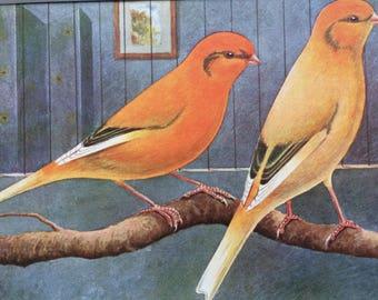 1911 Canary Original Antique Lithograph - Variegated Norwich Plainheads - Ornithology - Bird Art - Wall Decor - Home Decor - Wall Art