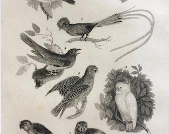 1822 Original Antique Matted Bird Engraving - Redpoll, Goldfinch, Cuckoo, Parrot, Maccaw, Cockatoo, Parakeet - Ornithology - Framed Decor