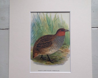 1896 Hose's Francolin Original Antique Lithograph - Game Bird - Hunting - Ornithology - Wall Decor - Country Decor - Available Framed