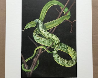 1968 Ahaetulla prasina Original Vintage Snake Print - Reptile - Mounted and Matted - Available Framed - Herpetology - Asian Vine Snake