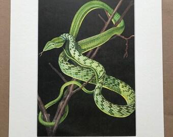 1968 Ahaetulla prasina Original Vintage Snake Print - Reptile - Mounted and Matted - Available Framed - Herpetology - Asian Vine Snake