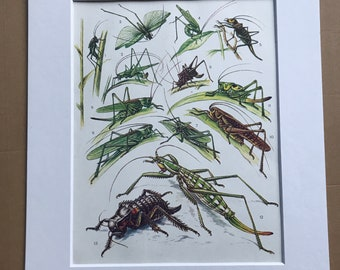 1984 Grasshoppers Original Vintage Print - Insect Art - Mounted and Matted - Available Framed