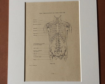1949 Original Vintage Anatomical Print - Skeleton of the Trunk - Anatomy - Medical Decor - Science - Mounted and Matted - Available Framed