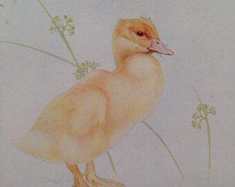 1919 Duckling - Beautiful Baby Bird Illustration by Edmund J. Detmold - Ornithology - Bird Art - Wall Decor - Nature Decor