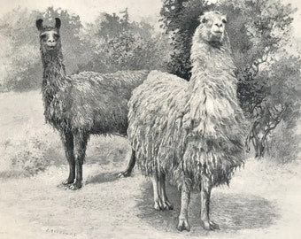 1903 Peruvian Llamas Original Antique Print - Natural History - Wildlife Decor - Mounted and Matted - Available Framed