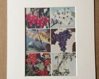 1940s Fruit Original Vintage Print - Cherry, Grape and Redcurrant - Kitchen Decor - Mounted and Matted - Available Framed