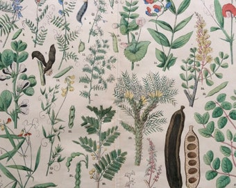1890 Large Original Antique Botanical Lithograph - Botanical Print - Botany - Plants - Botanical Art - Wall Decor - Carob Tree