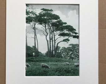 1940s Scots Pines and Sheep Original Vintage Sepia Photo Print - Rural England - Mounted and Matted - Available Framed