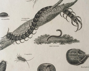 1819 Original Antique Engraving - Insect Art - Entomology - Aptera - Available Matted and Framed