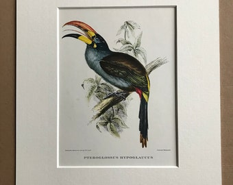 1964 Grey-Breasted Aracari Original Vintage Print - Mounted and Matted - Ornithology - Bird Art - Gould - Tropical Decor - Available Framed