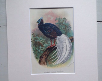 1896 Bulwer's Wattled Pheasant Original Antique Lithograph - Game Bird - Hunting - Ornithology - Wall Decor - Country Decor - Gift Idea