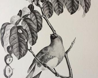 1960 Large Original Vintage Bird Print, 11.5 x 17 inches, Cersine Bleu, Vintage Decor, Ornithology, Tropical Wall Art